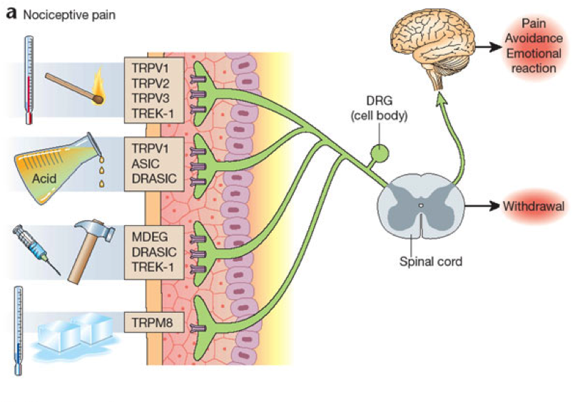 Nociception transmission from the periphery